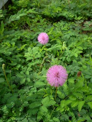 Mimosa strigillosa Powderpuff from Woodlanders Inc
