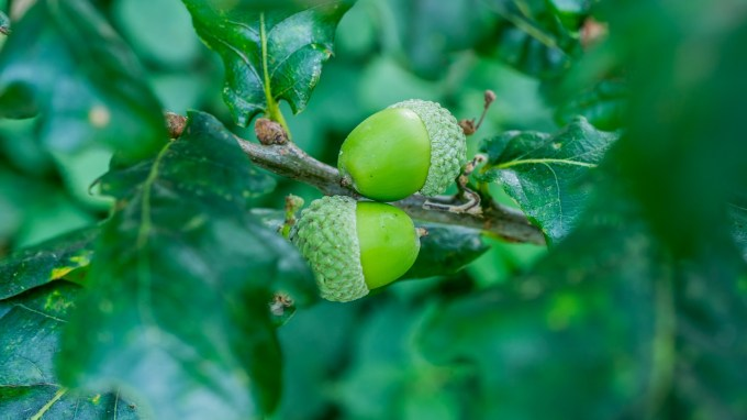 Are Acorns Edible And Other Acorn Facts Woodland Trust