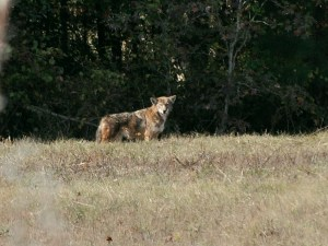 """Just look at his face and see if you see a coyote or maybe a coyote that looks """"wolfish"""""""