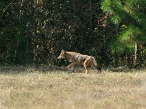 Google the red wolf and compare the colorations and form...
