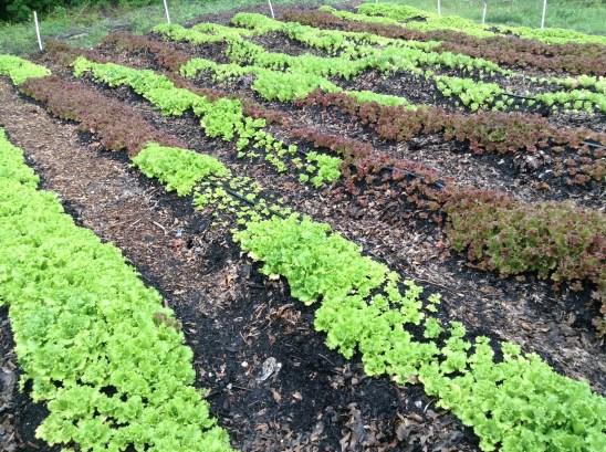Lettuce - ready to harvest!
