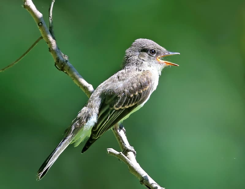 Bird That Sounds Like A Slide Whistle: [Detailed Answer]