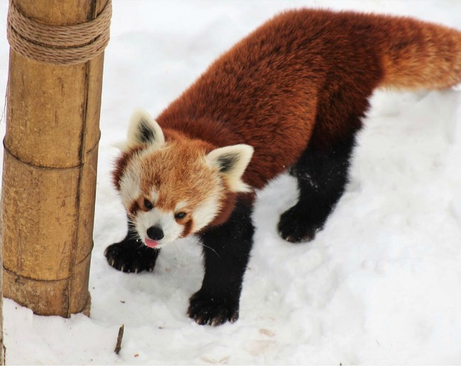 Wyatt, the red panda, at John Ball Zoo_64268