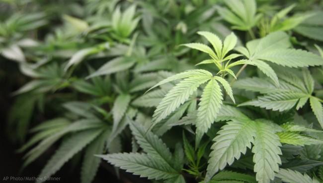 generic marijuana plant generic medical marijuana_1522353728958.jpg