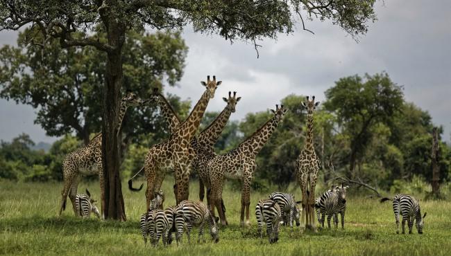 Giraffes AP 042519_1556207466318.jpg.jpg