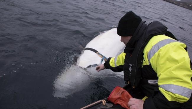 Norway Beluga Whale AP 043019_1556628438438.jpg.jpg
