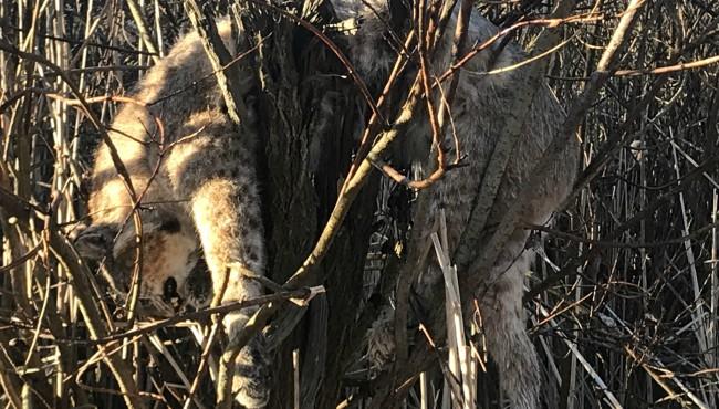 bobcat dead long lake area fairplain township jill lamb 042419_1556126699211.jpg.jpg