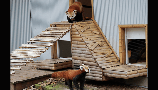 red pandas wyatt wasabi john ball zoo 050919_1557412607734.png.jpg