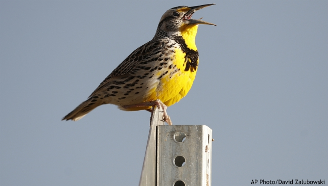 FILE - This April 14, 2019 file photo shows a western meadowlark in the Rocky Mountain Arsenal National Wildlife Refuge in Commerce City, Colo. (AP Photo/David Zalubowski, File)