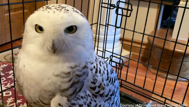 A photo of a snowy that was rescued on Drummond Island. It's recovering at the Wildlife Rehab Center in Grand Rapids. (Courtesy of Drummond Island Animal Clinic)