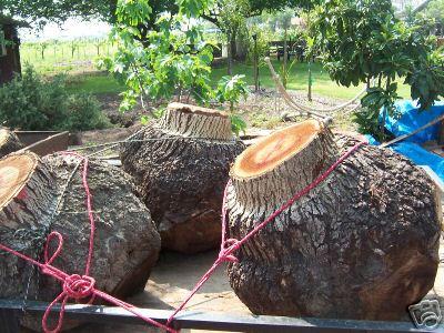 Tree Burl Buyers