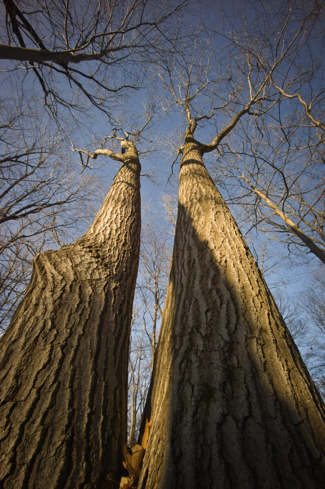 Monumental Oak