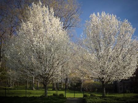 Pears in bloom
