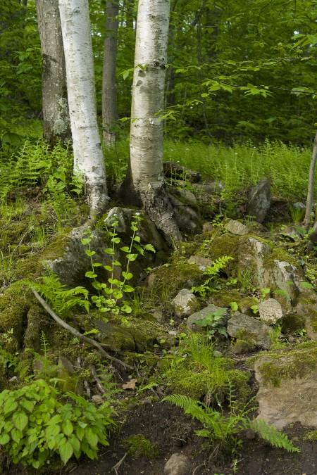 More Birches
