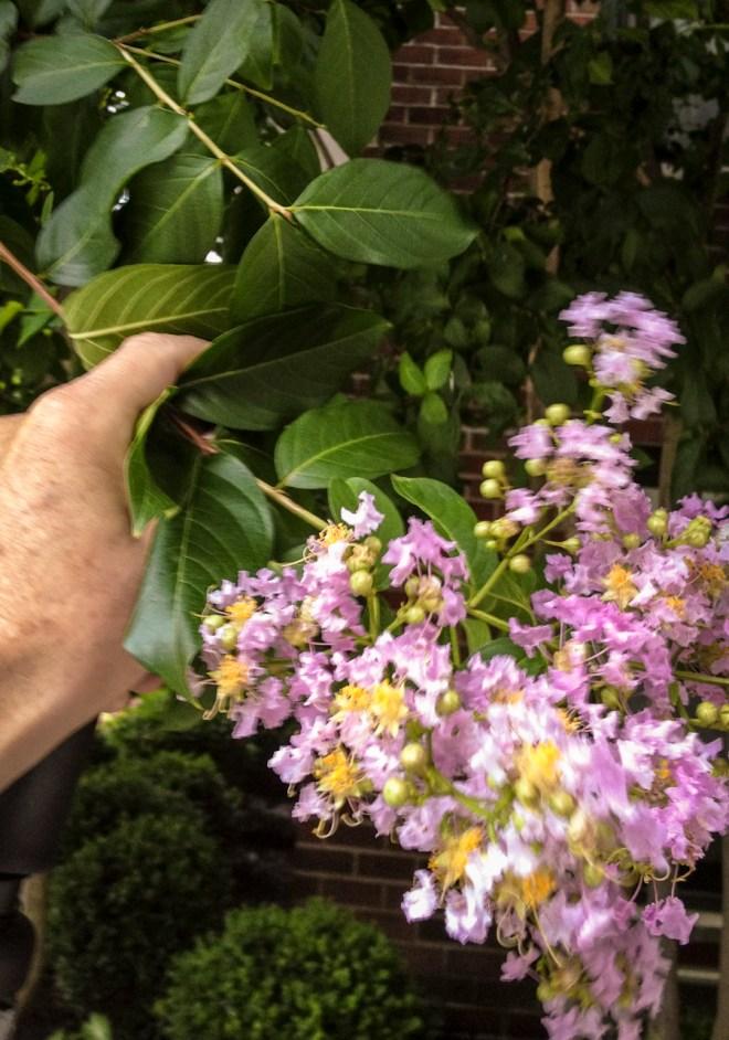 Lilac look-alike