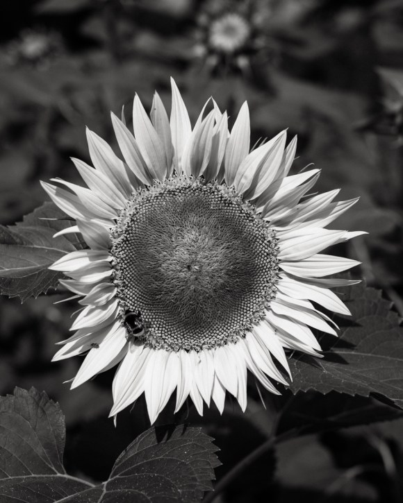 The only sunflower