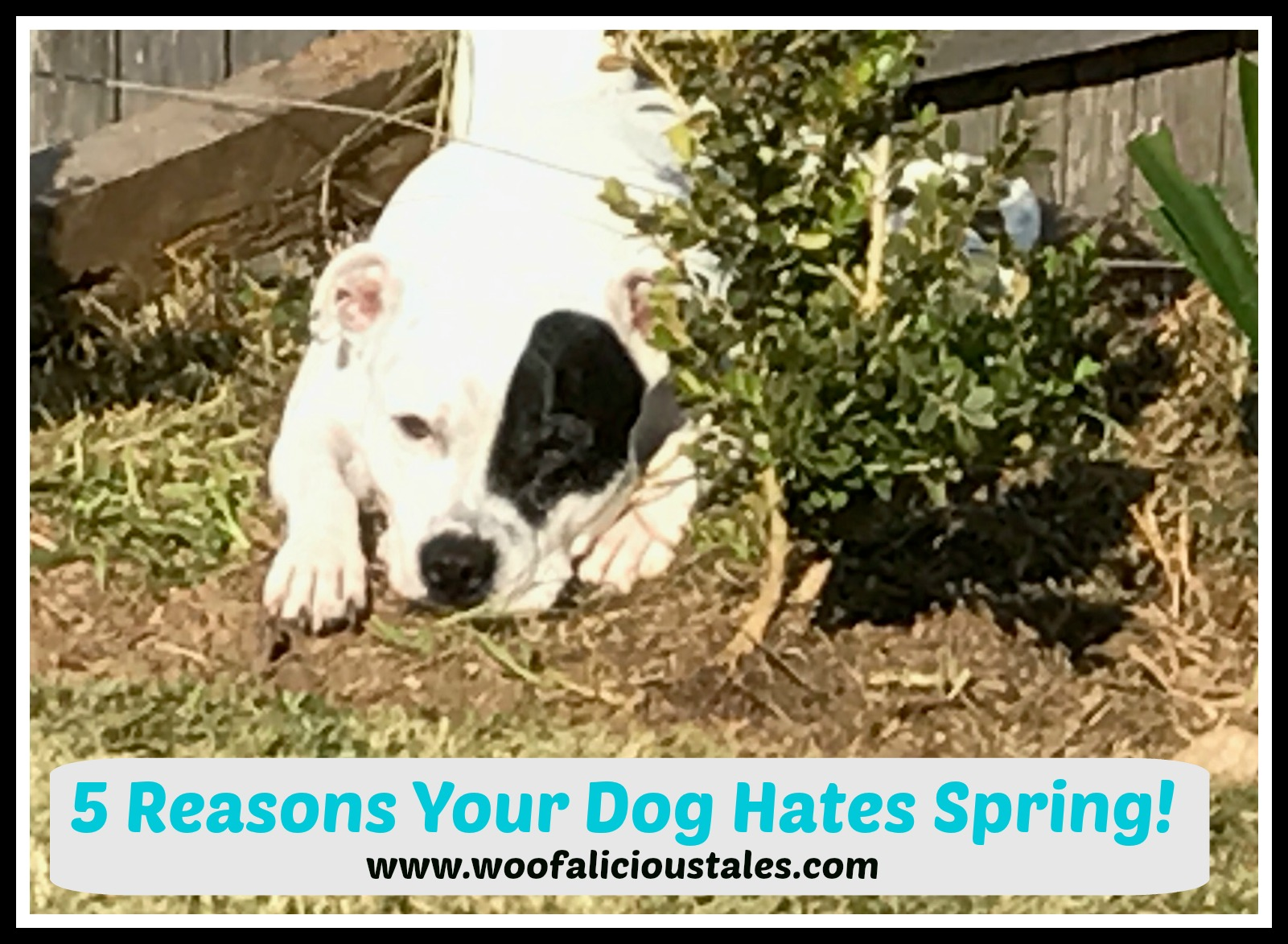 white Staffordshire bull terrier with black patch on eye in garden