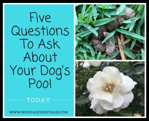 brown dog poo on buffalo lawn and a white rose