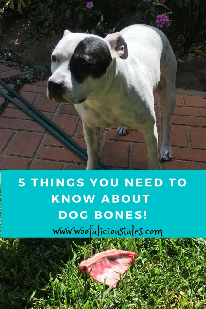 white staffy with black patch on left eye standing out side on a foot path with a raw dog bone on the grass
