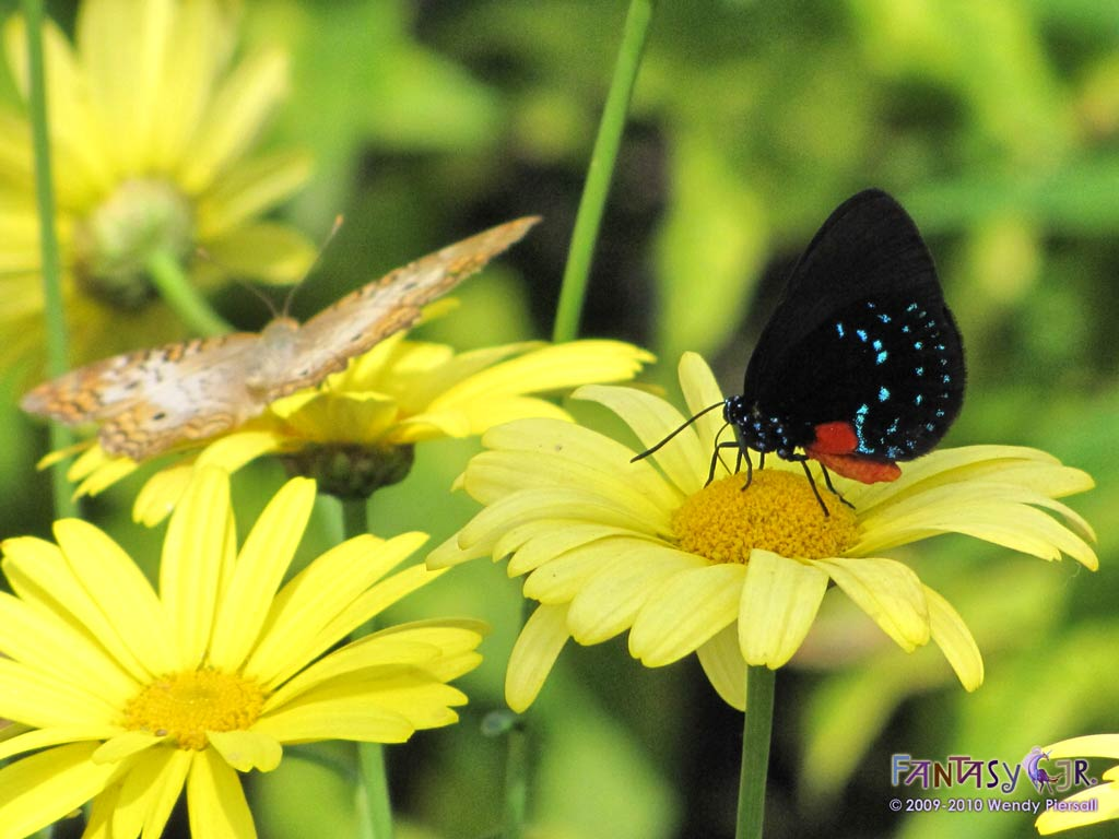 Butterfly Blue Yellow