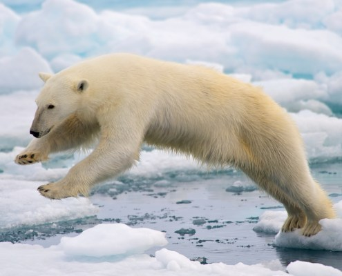 A frame-filling portrait of a young male polar bear (Ursus maritimus) jumping in the pack ice. Svalbard, Norway. Photo by Arturo de Frias Marques.