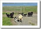 lambs5thb