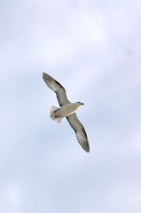 My best Fulmar to date?