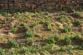 The Daffs are coming up