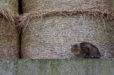 Farm cat sheltering from the cold wind