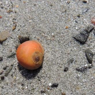 Flat Periwinkle orange