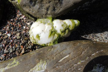 A BIG whelk, about 4 or 5 inches long