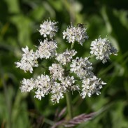 An Umbellifer... but which one?