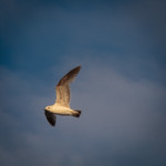 fulmar on patrol-13