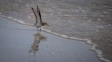 Sanderling in Summer plumage (one I did earlier)