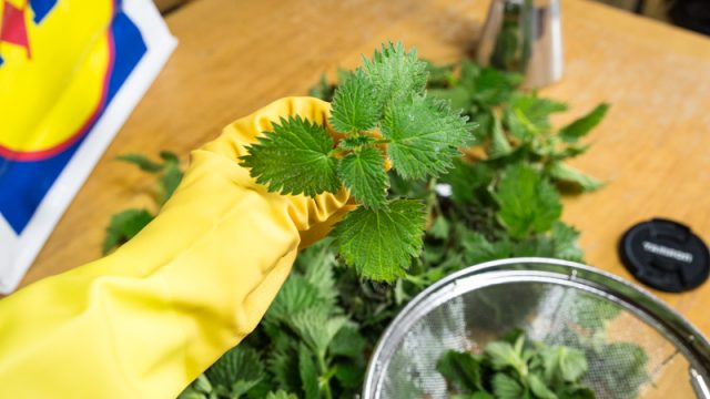 I think the nettles to be plucked ought to look something like these