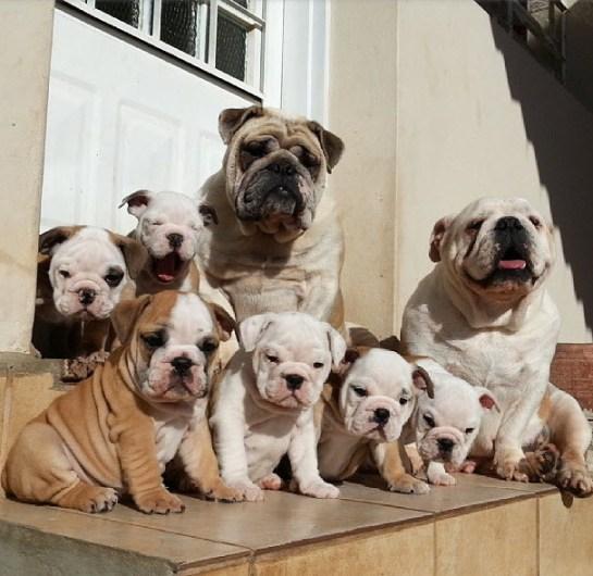 Perros bulldogs inglés en la puerta de su casa