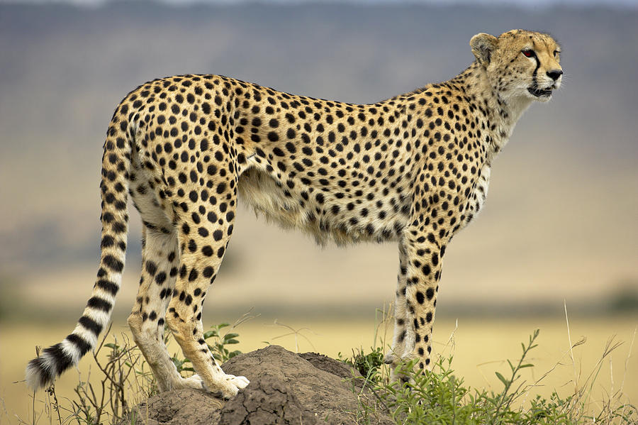Exotic Animal Wallpaper Types Of Wild Cats Worced