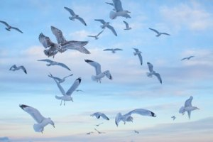 Gulls-in-flight 7