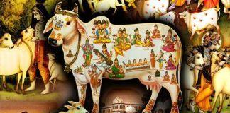 Cow Maa