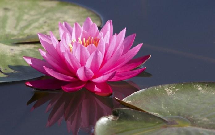 lotus-kamal