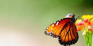 orange-butterfly-wallpaper-macro