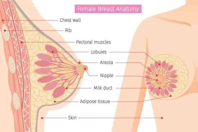 Rendering of breast anatomy to illustrate breast milk storage capacity
