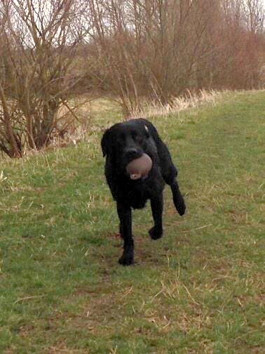 Cody in full flow returning from a go back retrieve! Sent in by @cody_labrador