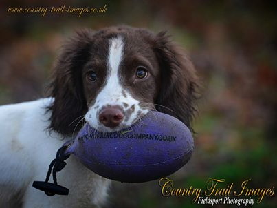 A keen retrieve by a young Springer Pup Sent in by Ray H