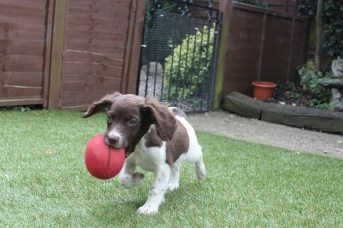 Rose's first retrieve using a Woodcock dummy, what a clever pup! Sent in by Julie