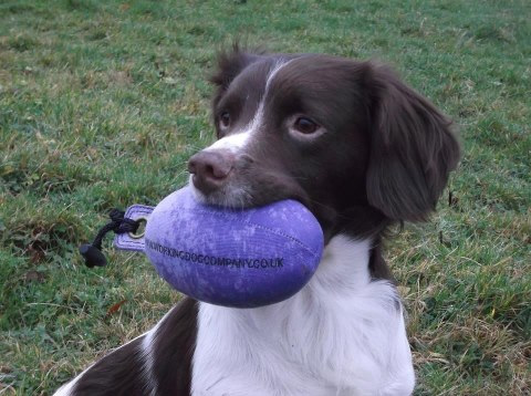 A young Springer with a Purple Partridge Dummy Sent in by Vikki P