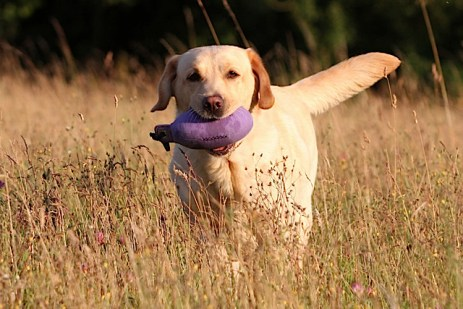 A WDC Purple Partridge Dummy being retrieved from the field. Sent in by Sharon, Woodmist Labradors