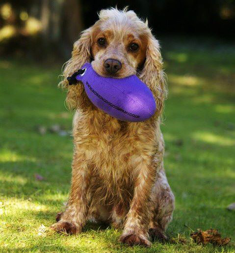 Krumble, the cute cocker spaniel holding his favourite purple partridge dummy. Sent in by Joanne