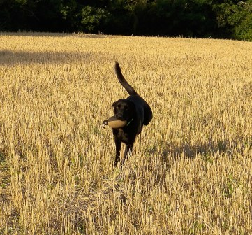 Flying through the stubble with an Easy Mark Pheasant dummy! Sent in by Urban Gundog © 2012 Urban Gundog Ltd