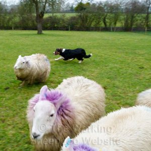 Young sheepdog, Kevin, keeps his sheep under control